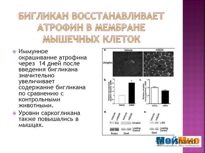 Иммунное окрашивание атропина через 14 дней после введения бигликана значительно увеличивает содержание бигликана по сравнению с контрольными животными. Уровни саркогликана также повышались в мышцах.