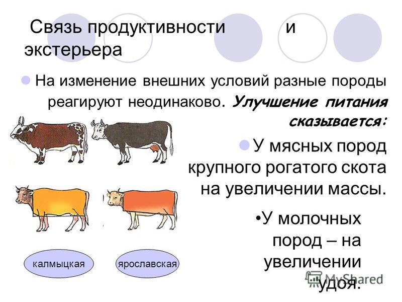 Связь продуктивности и экстерьера На изменение внешних условий разные породы реагируют неодинаково. Улучшение питания сказывается: У мясных пород крупного рогатого скота на увеличении массы. У молочных пород – на увеличении удоя. ярославская калмыцка