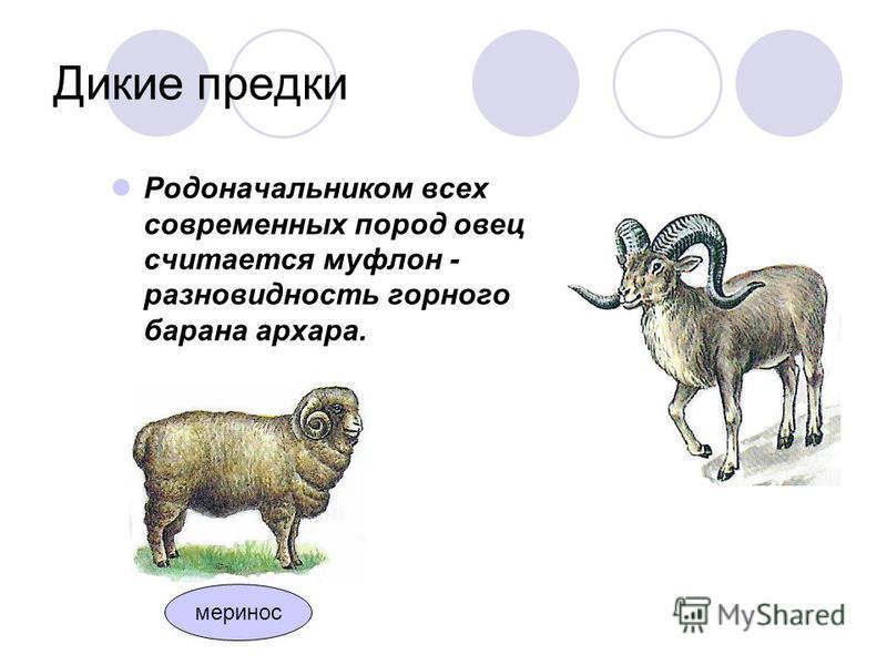 Дикие предки Родоначальником всех современных пород овец считается муфлон - разновидность горного барана архара. меринос