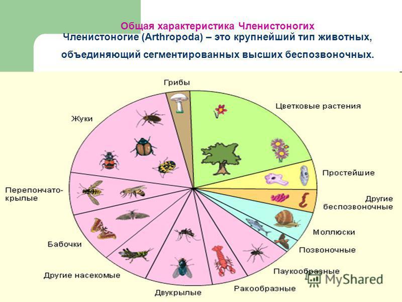 Общая характеристика Членистоногих Членистоногие (Arthropoda) – это крупнейший тип животных, объединяющий сегментированных высших беспозвоночных.