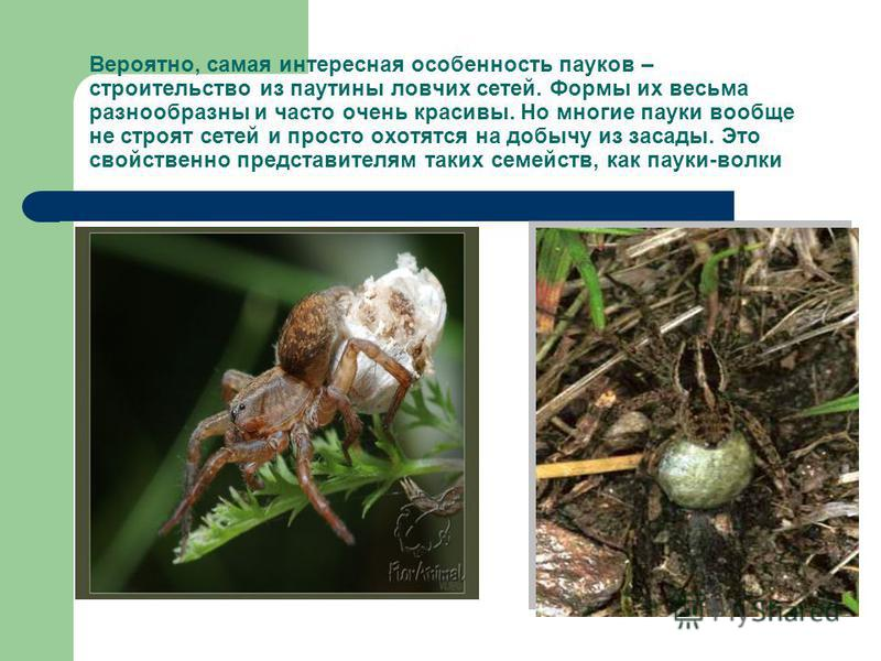 Вероятно, самая интересная особенность пауков – строительство из паутины ловчих сетей. Формы их весьма разнообразны и часто очень красивы. Но многие пауки вообще не строят сетей и просто охотятся на добычу из засады. Это свойственно представителям та