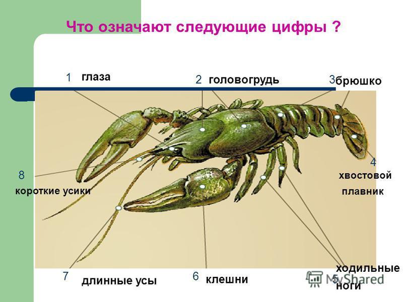 Что означают следующие цифры ? 1 2 3 4 5 6 7 8 глаза головогрудь брюшко хвостовой плавник ходильные ноги клешни длинные усы короткие усики