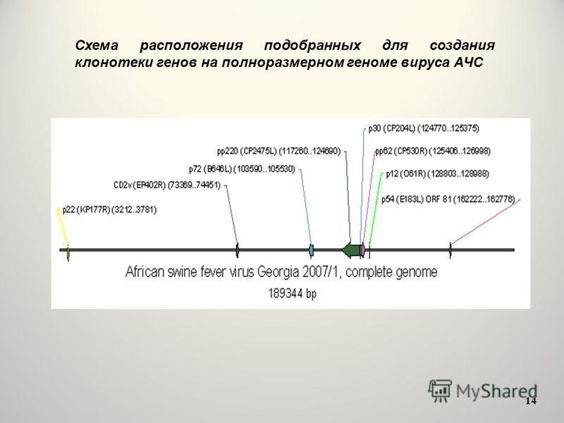 Схема расположения подобранных для создания клонотеки генов на полноразмерном геноме вируса АЧС 14