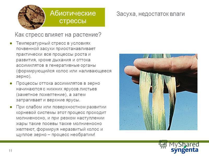 11 Абиотические стрессы Как стресс влияет на растение? Температурный стресс в условиях почвенной засухи приостанавливает практически все процессы роста и развития, кроме дыхания и оттока ассимилятор в генеративные органы (формирующийся колос или нали