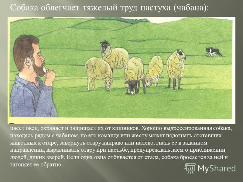 Собака облегчает тяжелый труд пастуха ( чабана ): пасет овец, охраняет и защищает их от хищников. Хорошо выдрессированная собака, находясь рядом с чабаном, по его команде или жесту может подогнать отставших животных к отаре, завернуть отару направо и
