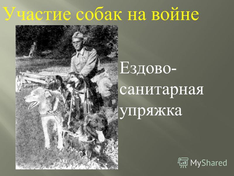 Участие собак на войне Ездово - санитарная упряжка