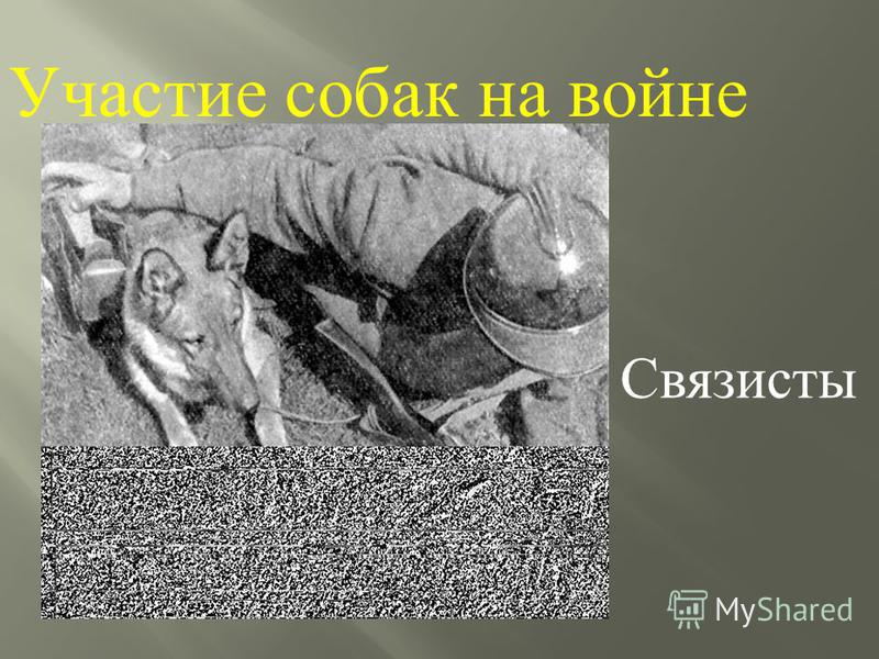 Участие собак на войне Связисты