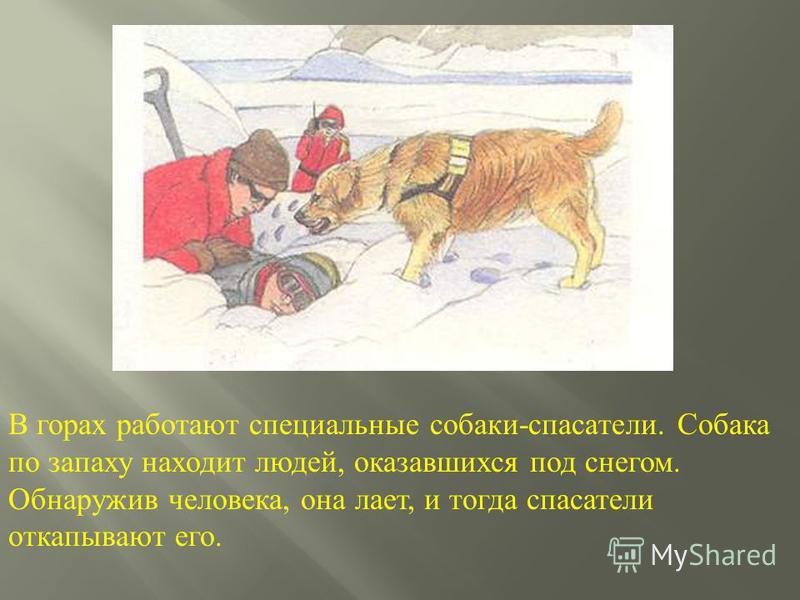 В горах работают специальные собаки - спасатели. Собака по запаху находит людей, оказавшихся под снегом. Обнаружив человека, она лает, и тогда спасатели откапывают его.
