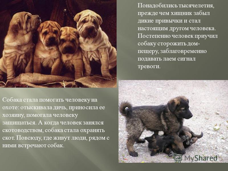 Понадобились тысячелетия, прежде чем хищник забыл дикие привычки и стал настоящим другом человека. Постепенно человек приучил собаку сторожить дом - пещеру, заблаговременно подавать лаем сигнал тревоги. Собака стала помогать человеку на охоте : отыск