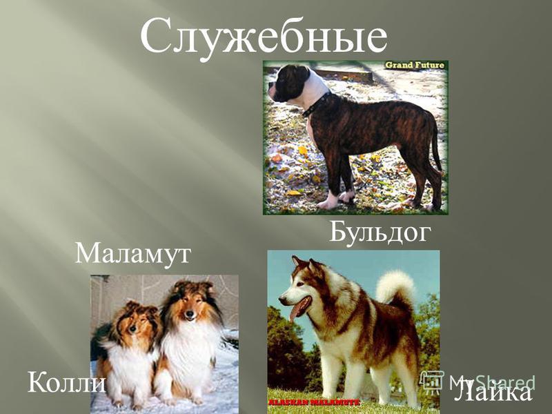 Бульдог Колли Лайка Маламут