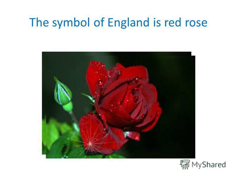 The symbol of England is red rose