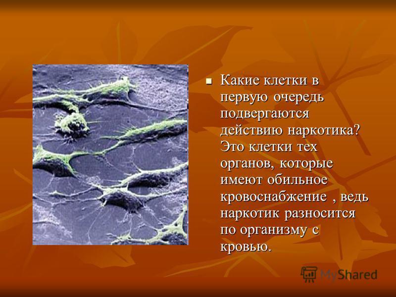 Какие клетки в первую очередь подвергаются действию наркотика? Это клетки тех органов, которые имеют обильное кровоснабжение, ведь наркотик разносится по организму с кровью. Какие клетки в первую очередь подвергаются действию наркотика? Это клетки те