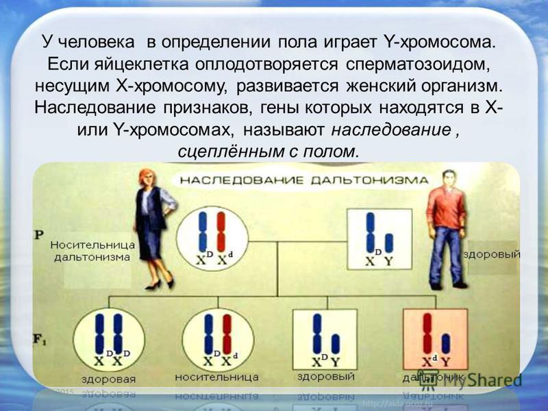У человека в определении пола играет Y-хромосома. Если яйцеклетка оплодотворяется сперматозоидом, несущим X-хромосому, развивается женский организм. Наследование признаков, гены которых находятся в X- или Y-хромосомах, называют наследование, сцеплённ