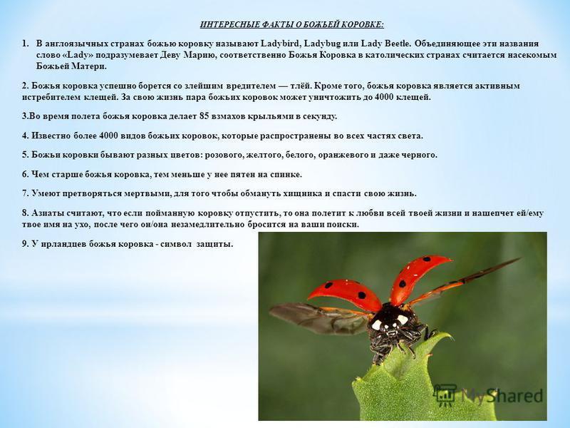 ИНТЕРЕСНЫЕ ФАКТЫ О БОЖЬЕЙ КОРОВКЕ: 1. В англоязычных странах божью коровку называют Ladybird, Ladybug или Lady Beetle. Объединяющее эти названия слово «Lady» подразумевает Деву Марию, соответственно Божья Коровка в католических странах считается насе