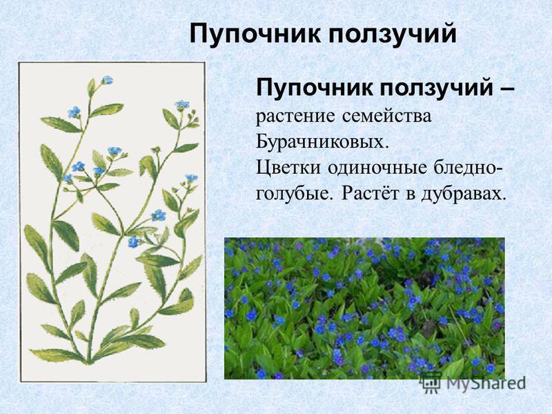 Пупочник ползучий – растение семейства Бурачниковых. Цветки одиночные бледно- голубые. Растёт в дубравах. Пупочник ползучий