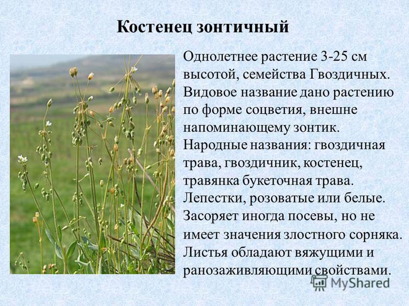 Костенец зонтичный Однолетнее растение 3-25 см высотой, семейства Гвоздичных. Видовое название дано растению по форме соцветия, внешне напоминающему зонтик. Народные названия: гвоздичная трава, гвоздичник, костенец, травянка буке точная трава. Лепест