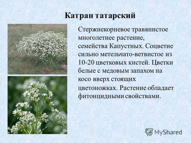 Катран татарский Стержнекорневое травянистое многолетнее растение, семейства Капустных. Соцветие сильно метельчато-ветвистое из 10-20 цветковых кистей. Цветки белые с медовым запахом на косо вверх стоящих цветоножках. Растение обладает фитонцидными с