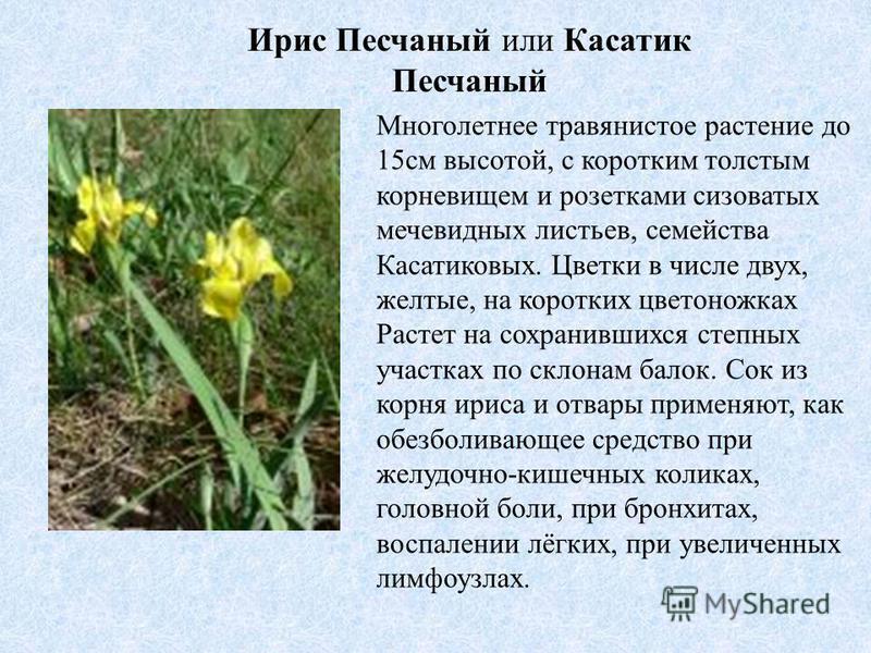 Ирис Песчаный или Касатик Песчаный Многолетнее травянистое растение до 15 см высотой, с коротким толстым корневищем и розетками сизоватых мечевидных листьев, семейства Касатиковых. Цветки в числе двух, желтые, на коротких цветоножках Растет на сохран