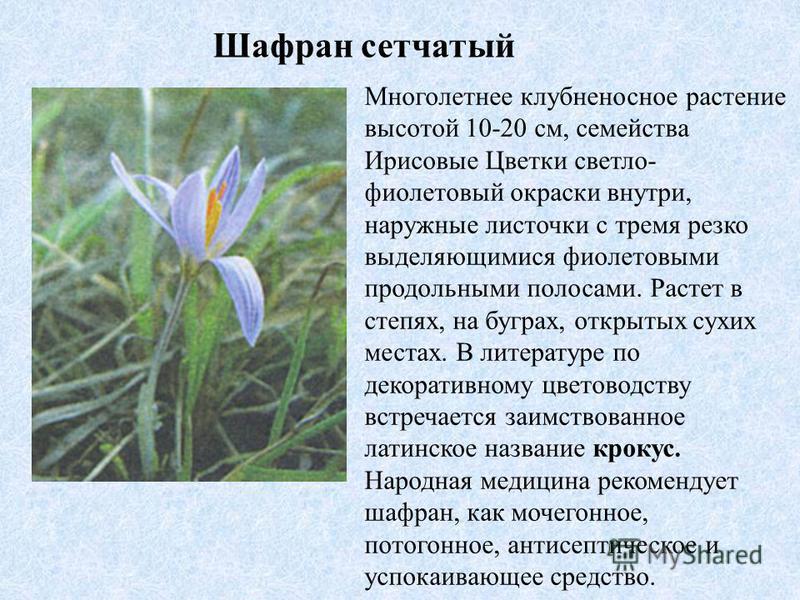 Многолетнее клубненосное растение высотой 10-20 см, семейства Ирисовые Цветки светло- фиолетовый окраски внутри, наружные листочки с тремя резко выделяющимися фиолетовыми продольными полосами. Растет в степях, на буграх, открытых сухих местах. В лите
