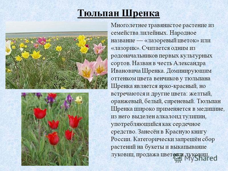 Тюльпан Шренка Многолетнее травянистое растение из семейства лилейных. Народное название «лазоревый цветок» или «лазорик». Считается одним из родоначальников первых культурных сортов. Назван в честь Александра Ивановича Шренка. Доминирующим оттенком