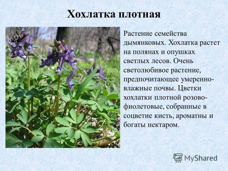 Хохлатка плотная Растение семейства дымянковых. Хохлатка растет на полянах и опушках светлых лесов. Очень светолюбивое растение, предпочитающее умеренно- влажные почвы. Цветки хохлатки плотной розово- фиолетовые, собранные в соцветие кисть, ароматны