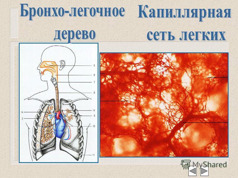 Анатомо-физиологические основы системы дыхания Методы обследования пульмонологического больного расспрос осмотр пальпация перкуссия аускультация инструментальные иинструментальные лабораторные Основные синдромы при заболеваниях легких Основные заболе