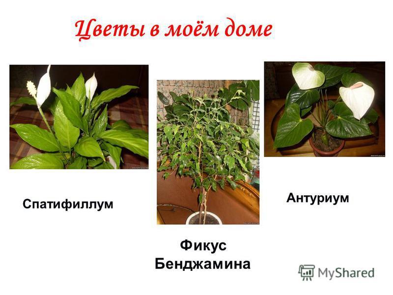 Цветы в моём доме Антуриум Спатифиллум Фикус Бенджамина