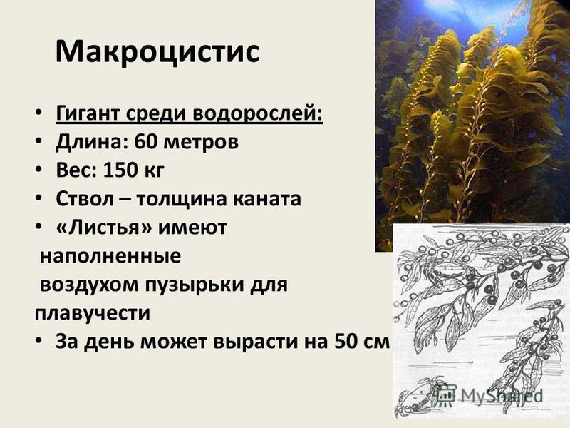 Макроцистис Гигант среди водорослей: Длина: 60 метров Вес: 150 кг Ствол – толщина каната «Листья» имеют наполненные воздухом пузырьки для плавучести За день может вырасти на 50 см