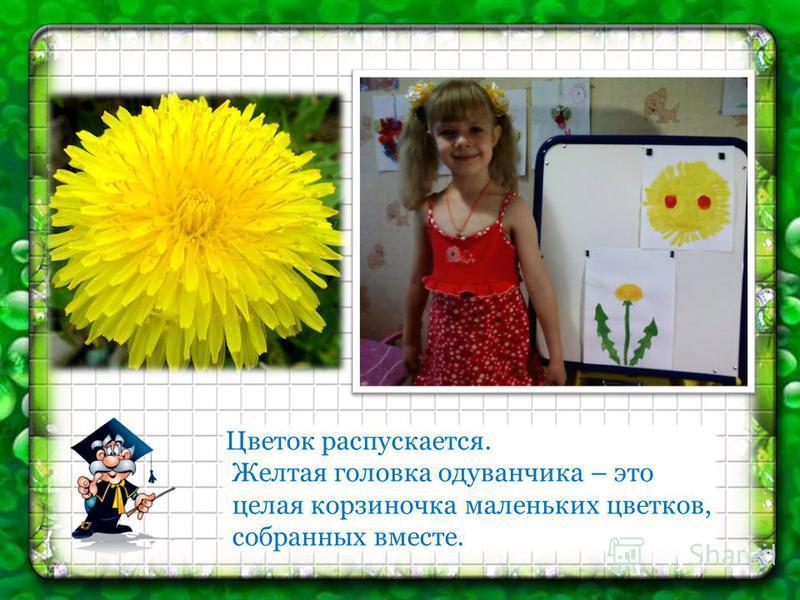 Цветок распускается. Желтая головка одуванчика – это целая корзиночка маленьких цветков, собранных вместе.