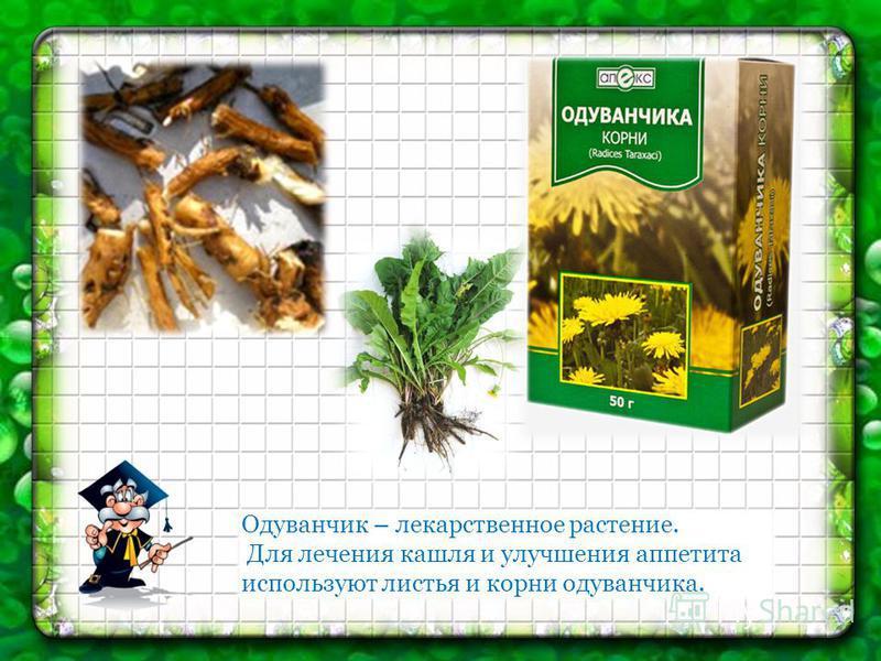 Одуванчик – лекарственное растение. Для лечения кашля и улучшения аппетита используют листья и корни одуванчика.