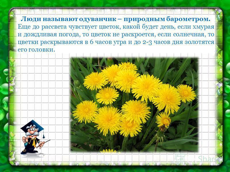 Люди называют одуванчик – природным барометром. Еще до рассвета чувствует цветок, какой будет день, если хмурая и дождливая погода, то цветок не раскроется, если солнечная, то цветки раскрываются в 6 часов утра и до 2-3 часов дня золотятся его головк