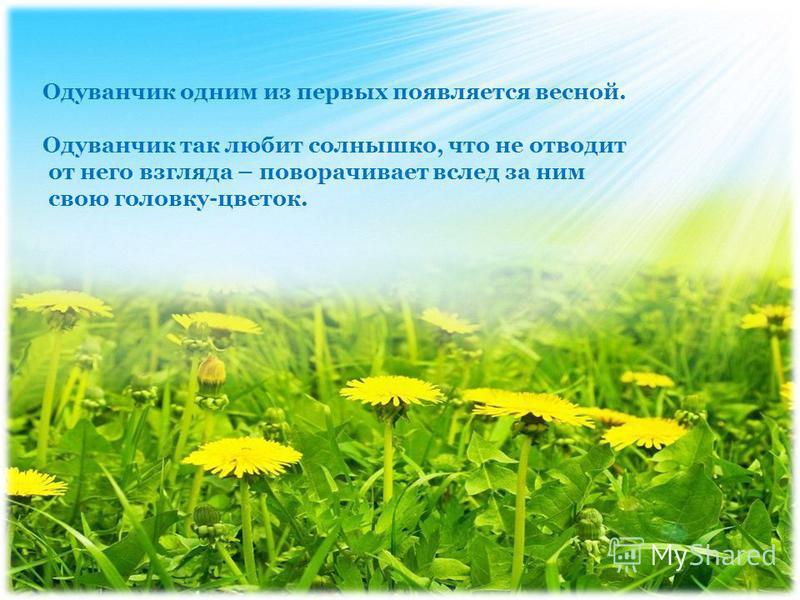 Одуванчик одним из первых появляется весной. Одуванчик так любит солнышко, что не отводит от него взгляда – поворачивает вслед за ним свою головку-цветок.