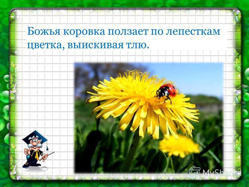 Божья коровка ползает по лепесткам цветка, выискивая тлю.