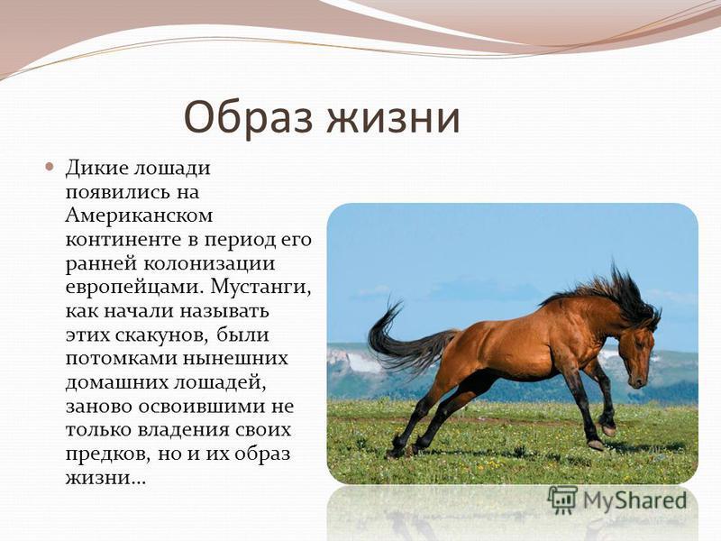 Образ жизни Дикие лошади появились на Американском континенте в период его ранней колонизации европейцами. Мустанги, как начали называть этих скакунов, были потомками нынешних домашних лошадей, заново освоившими не только владения своих предков, но и