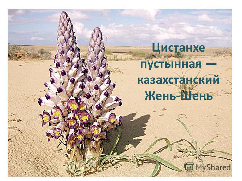 Цистанхе пустынная казахстанский Жень-Шень