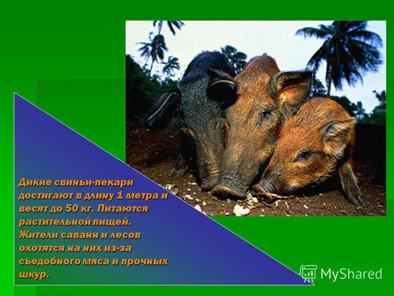 САВАННЫ Экваториальные леса сменяют травные пальмовые саванны, которые занимают в основном субэкваториальный и тропический климатические пояса. Саванны на Оринокской низменности называют льянос (от испанского – «ровный»). Саванны Бразильского плоског