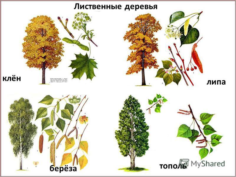 клён липа берёза топольь Лиственые деревья