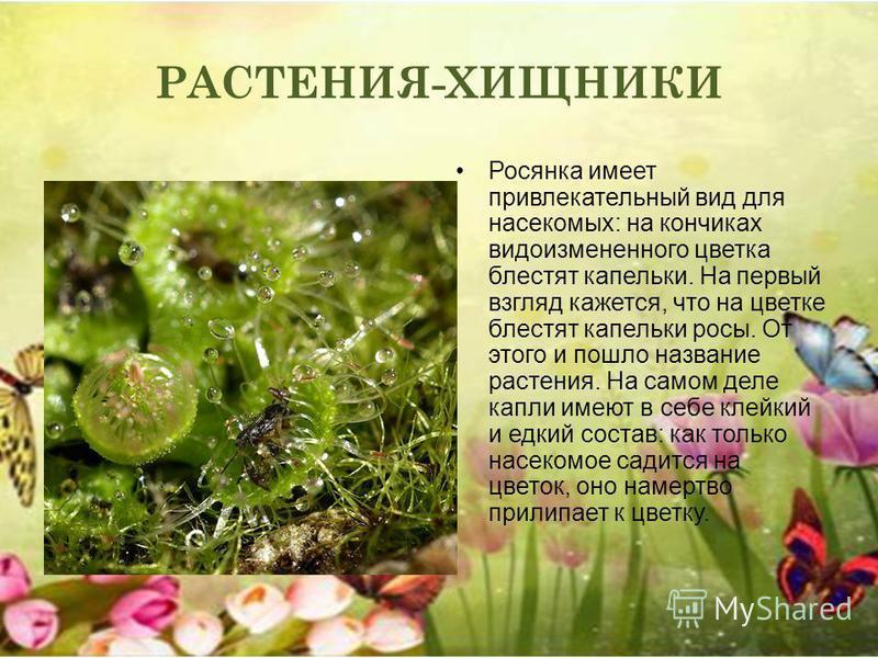 РАСТЕНИЯ-ХИЩНИКИ Росянка имеет привлекательный вид для насекомых: на кончиках видоизмененного цветка блестят капельки. На первый взгляд кажется, что на цветке блестят капельки росы. От этого и пошло название растения. На самом деле капли имеют в себе