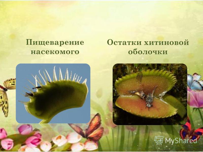 Пищеварение насекомого Остатки хитиновой оболочки