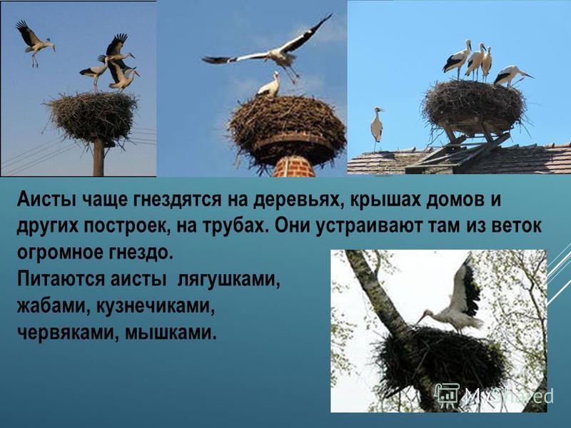 Прилёт аистов происходит в конце марта начале апреля. Это белая птица с чёрными концами крыльев, длинной шеей, длинным тонким красным клювом и длинными красноватыми ногами. Когда крылья у аиста сложены, создаётся впечатление, что вся задняя часть тел