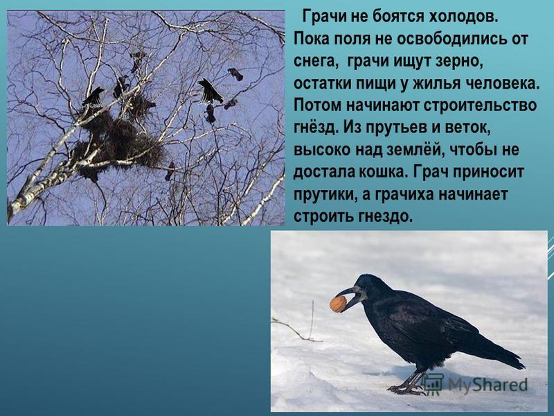 ГРАЧ Открывают весну грачи. Зиму эти птицы проводят на юге нашей страны. По дороге к своим гнёздам птицы очень спешили, не раз попадали в жестокие метели. Десятки и сотни птиц выбивались из сил и погибали в пути. Первыми долетели самые сильные. Грачи