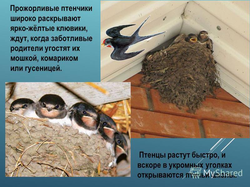 ЛАСТОЧКА Ласточки прилетают к нам в последних числах апреля или в начале мая, когда появится много летающих насекомых. Ласточки - прекрасные летуны: значительную часть жизни эти птицы проводят в воздухе. Пища ласточек состоит исключительно из насеком
