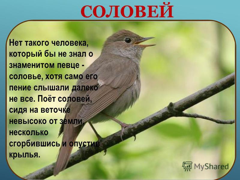 Прожорливые птенчики широко раскрывают ярко-жёлтые клювики, ждут, когда заботливые родители угостят их мошкой, комариком или гусеницей. Птенцы растут быстро, и вскоре в укромных уголках открываются птичьи школы.
