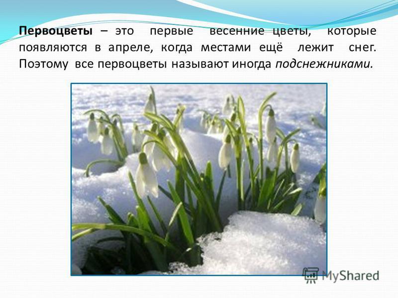 Первоцветы – это первые весенние цветы, которые появляются в апреле, когда местами ещё лежит снег. Поэтому все первоцветы называют иногда подснежниками.