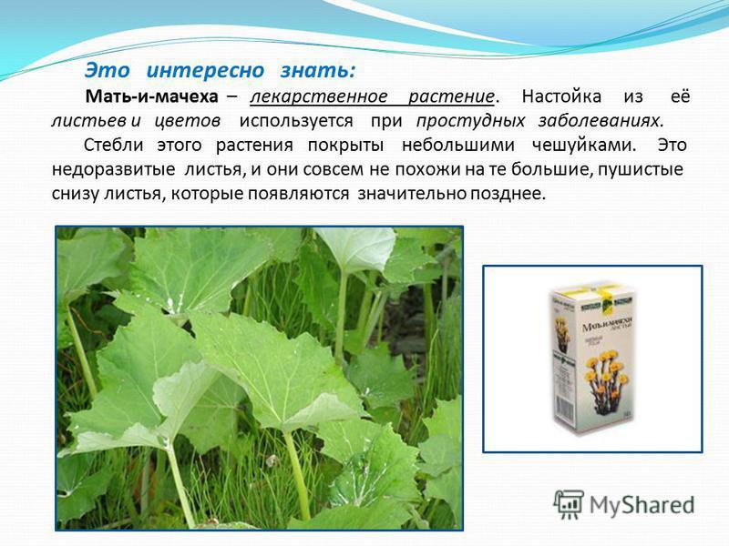 Это интересно знать: Мать-и-мачеха – лекарственное растение. Настойка из её листьев и цветов используется при простудных заболеваниях. Стебли этого растения покрыты небольшими чешуйками. Это недоразвитые листья, и они совсем не похожи на те большие,