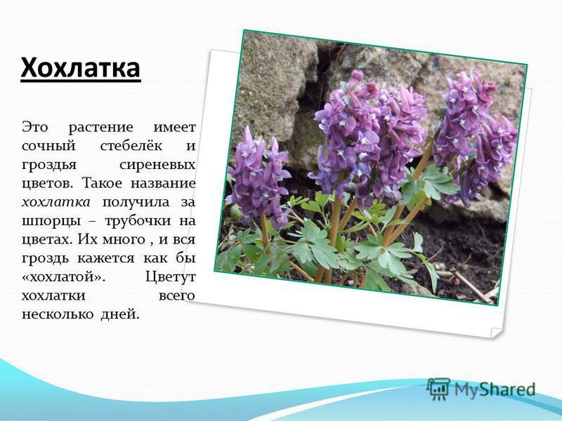 Хохлатка Это растение имеет сочный стебелёк и гроздья сиреневых цветов. Такое название хохлатка получила за шпорцы – трубочки на цветах. Их много, и вся гроздь кажется как бы «хохлатой». Цветут хохлатки всего несколько дней.