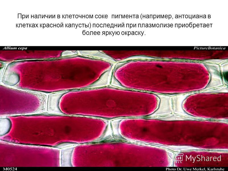 При наличии в клеточном соке пигмента (например, антоциана в клетках красной капусты) последний при плазмолизе приобретает более яркую окраску.