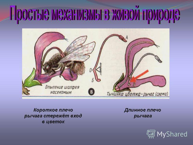 Короткое плечо рычага стережёт вход в цветок Длинное плечо рычага