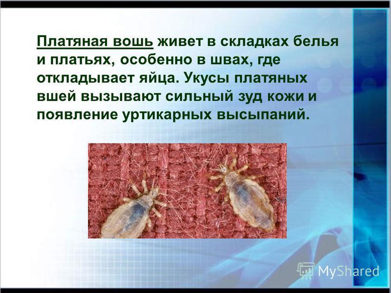 Платяная вошь живет в складках белья и платьях, особенно в швах, где откладывает яйца. Укусы платяных вшей вызывают сильный зуд кожи и появление уртикарных высыпаний.