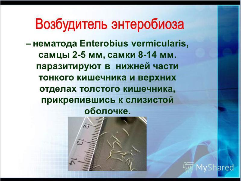 – нематода Enterobius vermicularis, самцы 2-5 мм, самки 8-14 мм. паразитируют в нижней части тонкого кишечника и верхних отделах толстого кишечника, прикрепившись к слизистой оболочке.